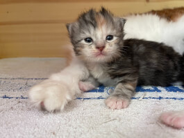 Kurilian bobtail kittens from Champion parents-ALL RESERVED