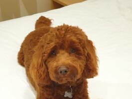 F1b Stunning Cockapoo available for Stud *Not for Sale*