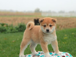 Blithesome Shiba Inu Puppies Now Available