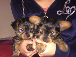 Amazing Yorkshire Terrier Puppies Now Available