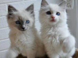 Stunning Ragdoll Kittens for sale now